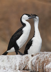 Black-faced Cormorants (Baractus) Tags: blackfaced cormorant john oates freycinet national park tasmania australia inala nature tours saffire