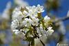 Vive le Printemps ! (jean-daniel david) Tags: buisson fleur nature printemps bokeh ciel cielbleu macro closeup grosplan réservenaturelle yverdonlesbains blanc branche bouquet