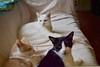 I hope to one day capture my two odd-eyed boys together...with their eyes showing (rootcrop54) Tags: otis dilute orange ginger tabby male charlie white allwhite oddeyes idaho tuxedo oddeyed heterochromia trio friends neko macska kedi 猫 kočka kissa γάτα köttur kucing gatto 고양이 kaķis katė katt katze katzen kot кошка mačka gatos maček kitteh chat ネコ sofa buddies