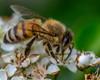 To pay tribute... (tuvidaloca) Tags: studie study estudio bokeh bokehextreme dof desenfoque desenfoqueparcial closeup nahaufnahme vistadecerca primerplano makro macro natur nature naturaleza biene bee abeja