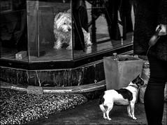 Jouer à chat.../ Hide and seek.... (vedebe) Tags: noiretblanc netb nb bw monochrome animaux chiens ville city street rue urbain urban