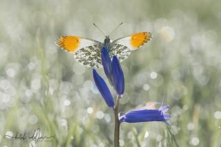 Orange tip Butterfly ( Male )