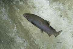 RAINBOW TROUT (Alex Borbely) Tags: rainbowtrout fish fishing trout lakeontariotribs alexborbely d4 nikon