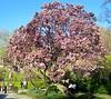 "IMG_0137e (tombarat) Tags: centralpark nyc usa conservatory""tulip""garden springtime"