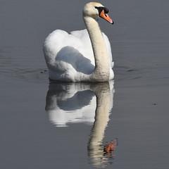 Mute Swan. (Albie n Glo) Tags: bird swan muteswan rspb rspbleightonmoss reflections water nature wildlife