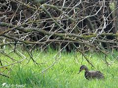 Une Cane dans la rosée du matin (Jean-Daniel David) Tags: oiseau oiseaudeau réservenaturelle arbre branche pelouse rosée herbe vert verdure cane canard colvert femelle yverdonlesbains