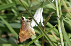 Skipper and wild onion (TJ Gehling) Tags: insect lepidoptera butterfly hesperiidae skipper skipperbutterfly plant flower asparagales amaryllidaceae onion wildonion allium cerritocreek richmondca
