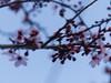 P2143084a (caligula1995) Tags: plumtree flowers 2018