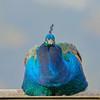Peafowl (Arturo Nahum) Tags: aves animal arturonahum ave birdwatcher bird birds pajaro pajaros