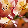 the lovely flowers (1crzqbn) Tags: rhododendron pink bokeh blur dof 18522018 flowers sunlight shadows light nature inmygarden