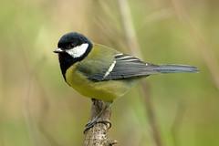 Great tit (david.england18) Tags: greattit smallbirds various tits blue great coal queensparkheywood canon7dmkll canonef300mmf4lisusm birdsuk