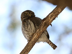 "Northern ""Mountain"" Pygmy-Owl (Brad Carlson's Photos) Tags: owl pygmyowl northernpygmyowl glaucidiumgnoma bradcarlson"
