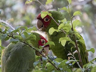 Parrots, Russian Hill, SF b20084n