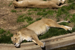 National Zoo 3 May 2018  (544) African Lion (smata2) Tags: lioness lion pantheraleo bigcats flickrbigcats smithsoniannationalzoo zoo zoosofnorthamerica itsazoooutthere animals zoocritters