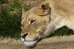 National Zoo 3 May 2018  (542) African Lion (smata2) Tags: lioness lion pantheraleo bigcats flickrbigcats smithsoniannationalzoo zoo zoosofnorthamerica itsazoooutthere animals zoocritters