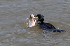 Cormorant Brings Up a Big One (drbradkent) Tags: bird cormorant fish fishing eating susquehanna river conowingo maryland