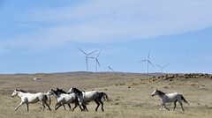 The Straggler (Patricia Henschen) Tags: rural countryside horse horses prairie grassland rand wind farm windmills ranch elpasocounty easternplains calhan colorado clouds