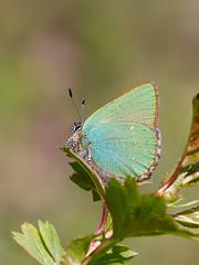 Green Hairstreak (chaz jackson) Tags: greenhairstreak callophrysrubi lycaenidae butterfly insect nature macro green hairstreak