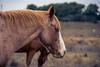 Teñido (gatoferre) Tags: horse horsie caballo caballos country campo maíz retrato portrait