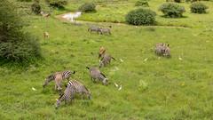 Nairobi-Nationalpark-6007 (ovg2012) Tags: commonzebra equusquagga equusquaggacommonzebra kenia kenya nairobinationalpark safari steppenzebra equus quagga common zebra