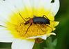 Darkling Beetle — Heliotaurus ruficollis (creaturesnapper) Tags: tavira portugal coleoptera beetles europe insects darklingbeetle heliotaurusruficollis coth coth5 tenebrionidae