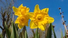 Spring - 4805 (YᗩSᗰIᘉᗴ HᗴᘉS +15 000 000 thx) Tags: 7dwf flora flower jonquille yellow fleur macro nature hensyasmine namur belgium europa aaa namuroise look photo friends be wow yasminehens interest intersting eu fr greatphotographers lanamuroise