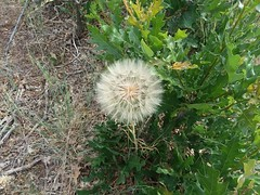 Dandelion (uccsbiology) Tags: spores reproduction gossamerball dandelion