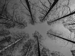 #91 Look up (tokyobogue) Tags: 365project tokyo japan trees up nexus6p nexus blackwhite blackandwhite monochrome sky lines park mizumotopark