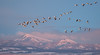 Snow Geese (brian.perkes) Tags: snowgeese market lake waterfowl