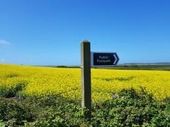 Yellow fields & blue skies (DGPhotography1999) Tags: instow blueskies northdevon england unitedkingdom yellowfields publicfootpath rivertawestuary thetarkatrail