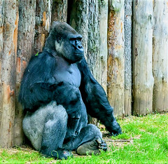 Solitude... (Sorin Ilie Itu) Tags: gorilla animals