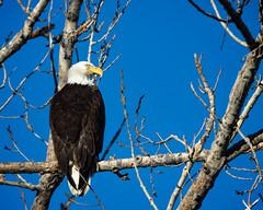 Bald Eagle (droy0521) Tags: spring wildlife tree bird colorado outdoors sunrise cherrycreekstatepark birdsofprey places animal
