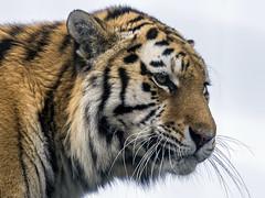 Amur Tiger. (Nigel Paine) Tags: bigcatsanctuary bigcat tiger amurtiger bcs whf canon60d ef300f28l 2xextender 600mm amasia explore