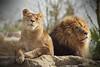 l'Homme est le plus cruel de tous les animaux (B N C T O N Y) Tags: lhomme est le plus cruel de tous les animaux fauve fauves felins tigre lion lionne panthere jaguar lynx zoo beauval voie exctinction disparition guepar