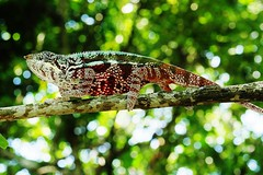 Panther Chameleon (M) (Furcifer pardalis) (Susan Roehl) Tags: madagascar2017 islandofmadagascar offtheeastcoastofafrica palmariumreserve pantherchameleon furciferpardalis reptile male animal coldblooded bumponnose toesfusedtogether tongslikeappearance functionlikegunturret rotateeacheyeseparately 360degreevision keeneyesight verylongtongues elastictongue sueroehl photographictours naturalexposures panasonic lumixdmcgh4 35x100mmlens handheld slightlycropped macro lizard wood ngc coth5 npc