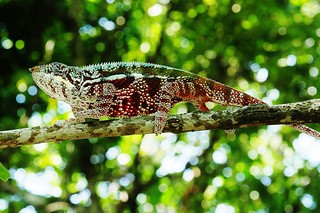 Panther Chameleon (M) (Furcifer pardalis)