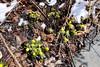 Winter aconite (Eranthis hyemalis) (danielhast) Tags: madison flower yellow winter aconite eranthis hyemalis