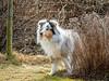 Sigrid on lookout... (stefanh.varberg) Tags: hund sigrid trädgården shetlandsheepdog sheltie garden spring lookout