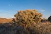 Cholla_Moon-1 (Ken'sKam) Tags: cholla chollacactus moon moonrise joshuatreenp joshuatreenationalpark desert nature