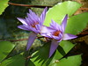 Water Lilies (Toats Master) Tags: cambodia siemreap flowers nature blooms petals lilies plants
