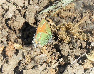 Crappy picture of a rare Siva Juniper Hairstreak Butterfly.