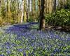 Blue River (keithhull) Tags: keukenhof gardens flower landscape lisse holland neatherlands