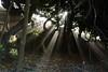 Solar rays and morning mist through the trees, in Foz do Douro, Porto (eduardovales) Tags: nikonflickraward