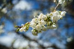 """Cherry flower 🍒 Spring 2018."" (luckyice38) Tags: cherry cerise cerisier cherrytree arbres arbre fleurs fleur flower flowers spring printemps bokeh sonya7 sonyalpha7 ilce7 sonyfe50mmf18 50mm 50mmf18 sonyflickraward"