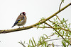 Carduelis carduelis 20180409_60305 (phhoog) Tags: hautrage stghislain hainaut aves passeriformes fringillidae carduelis cardueliscarduelis chardonneret goldfinch