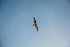 Eleganza (RM) (Stefano Innocenzi) Tags: natura cielo gabbiano libertà volo eleganza spazi