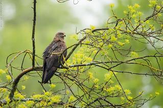 Milan noir Milvus migrans - Black Kite