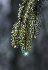 A Little Light From Heaven (a56jewell) Tags: a56jewell tree pinetree waterdrop rain april outdoors green