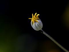 IMG_1628 (angelalonso4) Tags: canon tamron f28 90mm 11600 200 nature natura flor flowers capullo explorar explore sp di vc usd flora