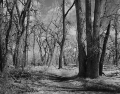 The Path in Passing (2018) (IntimateMuse) Tags: chatfieldstatepark colorado cottonwoods forest path bw monochrome
